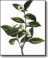 camelliasinensis.jpg